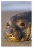 Northern Elephant Seal portrait on beach, North America Posters by Tim Fitzharris