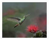 Rufous-tailed Hummingbird at Fairy Duster flower, Costa Rica Posters by Tim Fitzharris