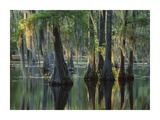 Bald Cypress swamp, Sam Houston Jones State Park, Louisiana Prints by Tim Fitzharris