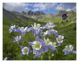 Colorado Blue Columbine meadow at American Basin, Colorado Prints by Tim Fitzharris