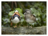Mandarin Duck male and female, Jurong Bird Park, Singapore Art by Tim Fitzharris