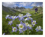 Colorado Blue Columbine meadow at American Basin, Colorado Print by Tim Fitzharris