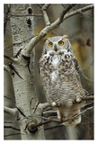Great Horned Owl pale form, perched in tree, Alberta, Canada Posters van Tim Fitzharris