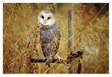 Barn Owl perching among dry grasses, British Columbia, Canada Prints by Tim Fitzharris