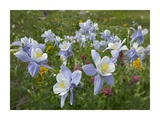 Colorado Blue Columbine flowers, American Basin, Colorado Print by Tim Fitzharris
