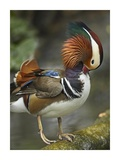 Mandarin Duck male preening, Jurong Bird Park, Singapore Posters by Tim Fitzharris