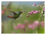 Rufous-tailed Hummingbird hovering near flower, Ecuador Prints by Tim Fitzharris