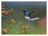 White-necked Jacobin hummingbird, male foraging, Costa Rica Posters by Tim Fitzharris