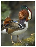 Mandarin Duck male preening, Jurong Bird Park, Singapore Prints by Tim Fitzharris