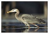 Great Blue Heron with captured fish, British Columbia, Canada Posters by Tim Fitzharris