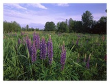 Lupine in meadow near crescent beach, British Columbia, Canada Posters by Tim Fitzharris