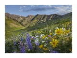 Larkspur and sunflowers, Albion Basin, Wasatch Range, Utah Prints by Tim Fitzharris