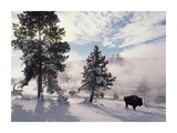 American Bison in winter, Yellowstone National Park, Wyoming Plakater af Tim Fitzharris