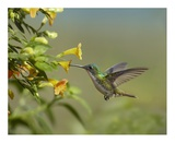 Andean Emerald hummingbird feeling on yellow flower, Ecuador Posters by Tim Fitzharris