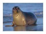 Northern Elephant Seal female laying on beach, California coast Poster di Tim Fitzharris