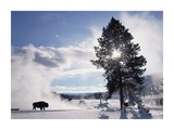 American Bison in winter, Yellowstone National Park, Wyoming Art by Tim Fitzharris