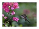 Magnificent Hummingbird female feeding at flower, Costa Rica Prints by Tim Fitzharris