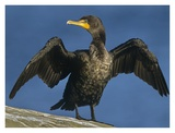 Double-crested Cormorant drying its wings, North America Affiches par Tim Fitzharris