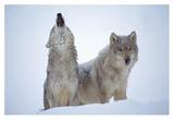 Timber Wolves close-up portrait of pair howling in snow, North America Print by Tim Fitzharris