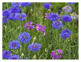 Cornflower and Pointed Phlox blooming in grassy field, North America Print by Tim Fitzharris