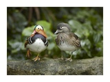 Mandarin Duck male and female, Jurong Bird Park, Singapore Posters by Tim Fitzharris