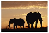 African Elephant mother and calf silhouetted at sunset, Kenya Prints by Tim Fitzharris