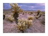 Teddy Bear Cholla cacti, Joshua Tree National Park, California Prints by Tim Fitzharris