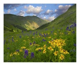 Orange Sneezeweed and Delphinium in American Basin, Colorado Poster by Tim Fitzharris