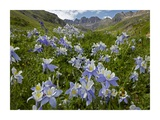 Colorado Blue Columbine flowers in American Basin, Colorado Posters by Tim Fitzharris