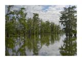 Bald Cypress swamp, Cypress Island, Lake Martin, Louisiana Prints by Tim Fitzharris