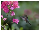 Magnificent Hummingbird female feeding at flower, Costa Rica Posters by Tim Fitzharris