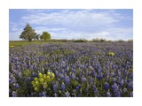 Bluebonnet and Lemon Paintbrush meadow near Albany, Texas Prints by Tim Fitzharris