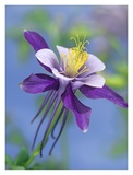 Colorado Blue Columbine close up of bloom, North America Posters by Tim Fitzharris
