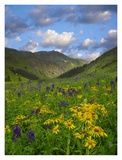 Orange Sneezeweed and Delphinium in American Basin, Colorado Prints by Tim Fitzharris