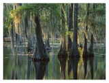 Bald Cypress swamp, Sam Houston Jones State Park, Louisiana Posters by Tim Fitzharris