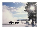 American Bison in winter, Yellowstone National Park, Wyoming Posters by Tim Fitzharris