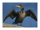 Double-crested Cormorant drying its wings, North America Print by Tim Fitzharris