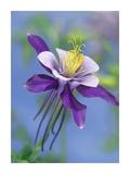 Colorado Blue Columbine close up of bloom, North America Stampe di Tim Fitzharris