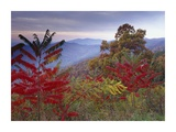 Staghorn Sumac in autumn, Blue Ridge Mountain Range, Virginia Art by Tim Fitzharris