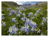 Colorado Blue Columbine flowers in American Basin, Colorado Prints by Tim Fitzharris
