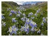 Colorado Blue Columbine flowers in American Basin, Colorado Prints by Tim Fitzharris