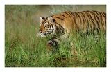 Siberian Tiger walking through tall grass along water's edge Posters by Tim Fitzharris