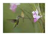 Sword-billed Hummingbird feeding on flower nectar, Ecuador Posters by Tim Fitzharris