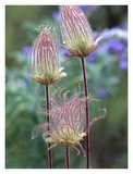 Prairie Smoke Okanagan Valley, British Columbia, Canada Prints by Tim Fitzharris