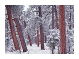 Ponderosa Pines with snow, Grand Canyon National Park, Arizona Posters by Tim Fitzharris