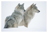 Timber Wolf portrait of pair sitting in snow, North America Plakater av Tim Fitzharris
