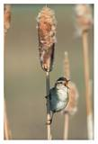 Marsh Wren singing while perching on a Common Cattail, North America Art by Tim Fitzharris