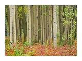 Aspen trees and Fireweed, Collegiate Peaks Wilderness Area, Colorado Posters by Tim Fitzharris
