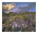 Opuntia cactus, Chisos Mountains, Big Bend National Park, Texas Posters by Tim Fitzharris