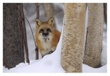 Red Fox looking out from behind trees in a snowy forest, Montana Prints by Tim Fitzharris